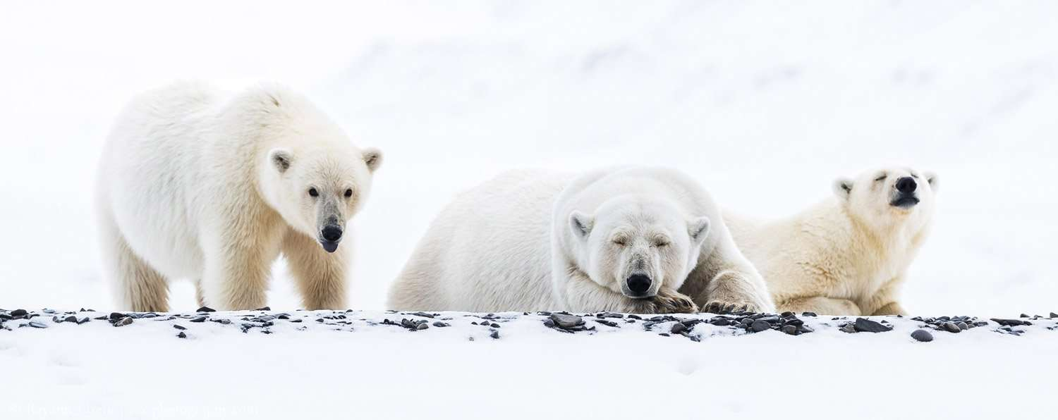 polar bear photography tour in svalbard