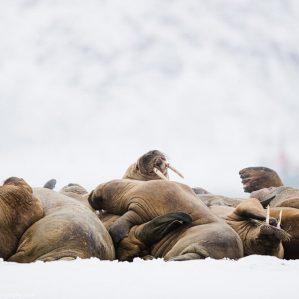 walruses-in-svalbard