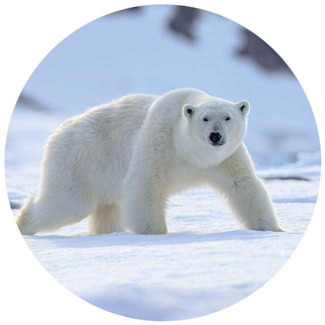 polar bear in Svalbard in Norway