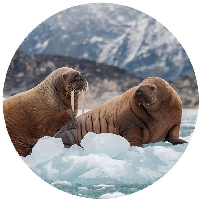walrus in svalbard