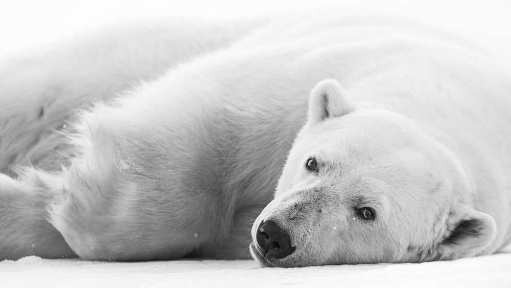 svalbard polar bear photo tour