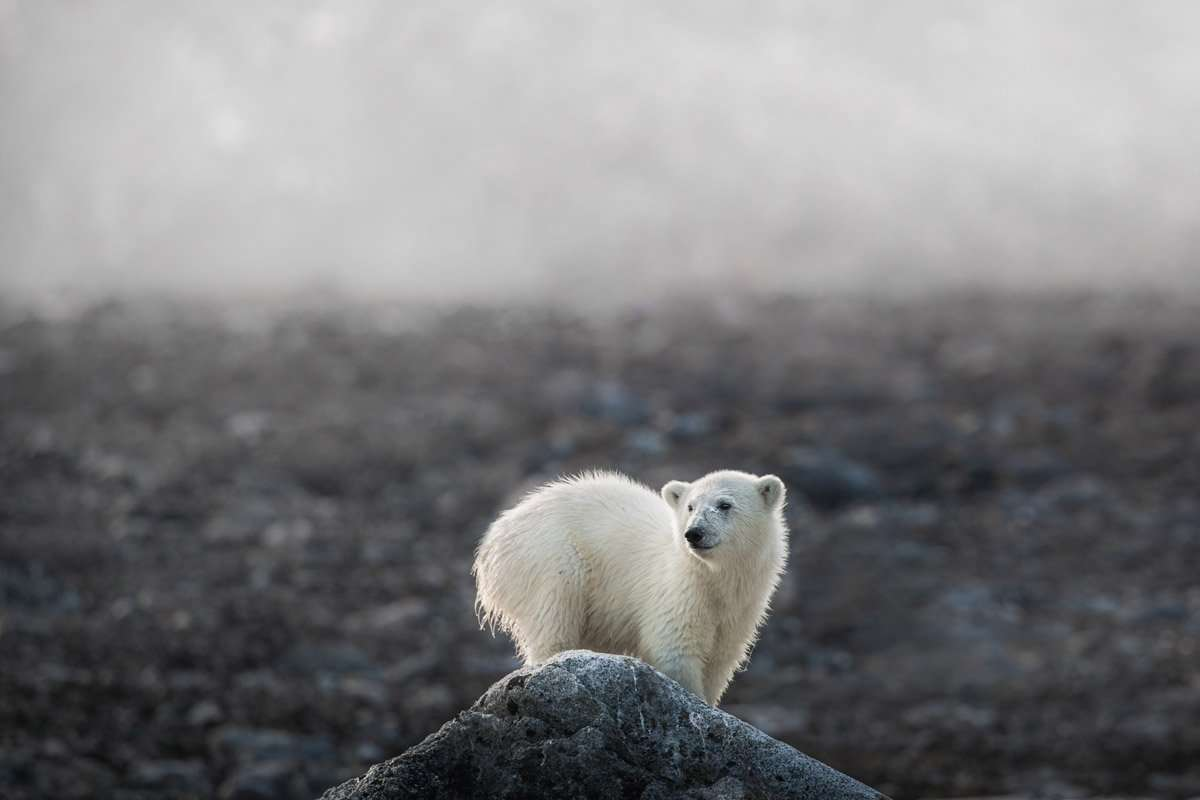 polar bear tours in Svalbard by Chase Teron