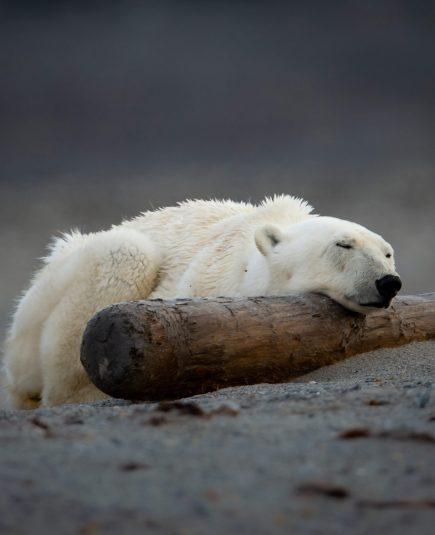 polar bear in svalbard